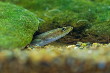 European eel - Anguilla anguilla is a species of eel, a snake-like, catadromous fish. They