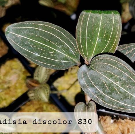 L. discolor