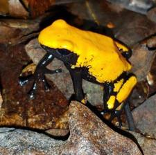 """A. galactonotus  """"Orange"""""""