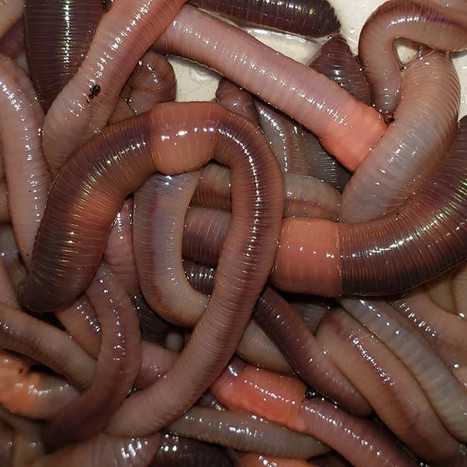 Dew Worms