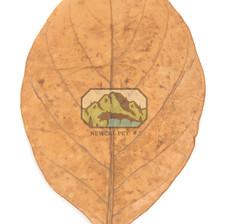 Jack Fruit Leaves