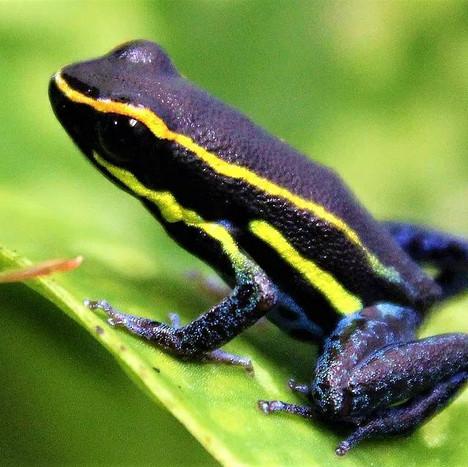 H. azureaventris