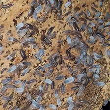 """P. pruinosus """"Powder Blue"""""""