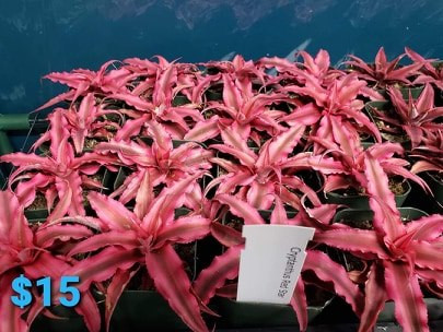 "Cryptanthus ""Red Star"""