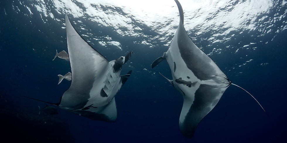 Manta Ray Ecology and Conservation: How Divers Can Help