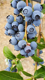 Duke Blueberry