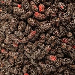 Columbia Giant Blackberry