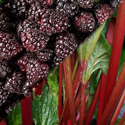 Boysenberry and Rhubarb