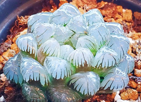 Haworthia- Ice Jade