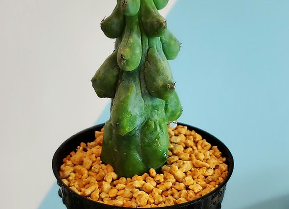 Myrtillocactus geometrizans 'Fukurokuryuzinboku', Blue boob cactus ..