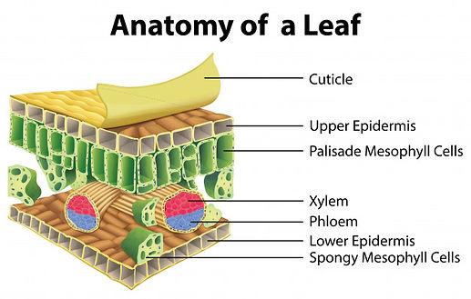diagram-showing-anatomy-leaf_1308-38515.