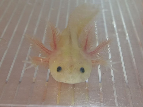 """Jimberly (3"""" GFP Dirty Lucy)"""