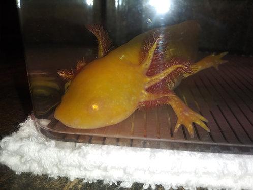 "Zoltar (6.5"" High Iridophore Sunburst Golden Albino)"