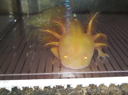 """Pan (5.5"""" High Iridophore Sunburst Golden Albino)"""