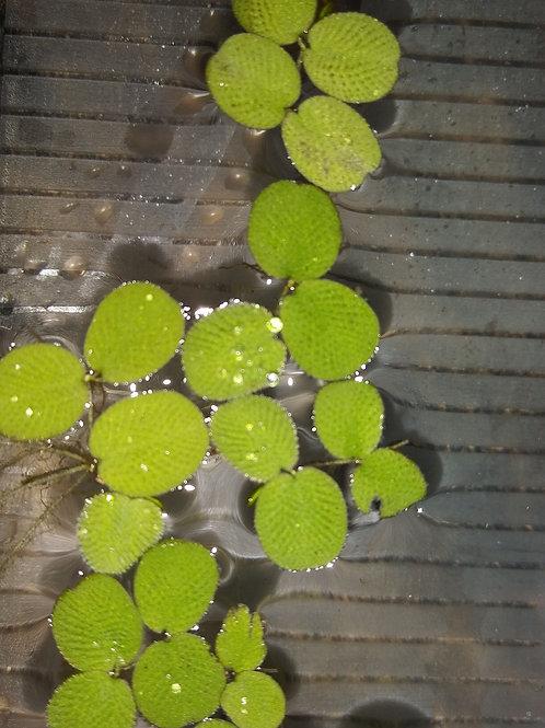 20 Plants of Salvinia