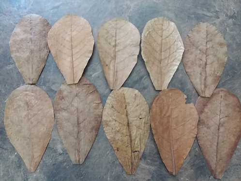 Lot of 10 Indian Almond Leaves
