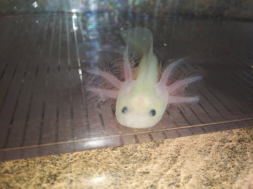 """Blaze  (3.5"""" GFP Lucy)"""