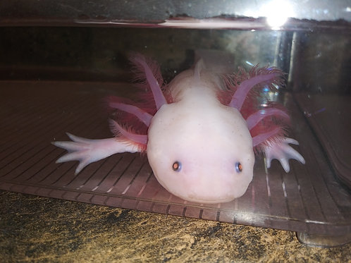 """DerpyNerp (8"""" Male Lucy)"""
