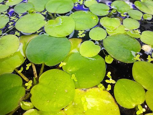 20 Plants of Frogbit
