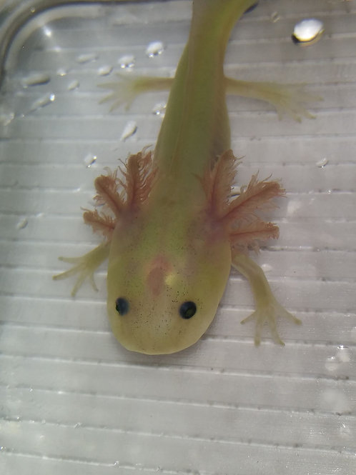 """Tweedle Derp (4"""" Lightly Speckled GFP  Lucy)"""
