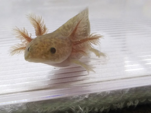 """Swag (3.5"""" Copper Axanthic)"""