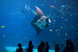 Mantaray gliding past visitors at the Georgia Aquarium