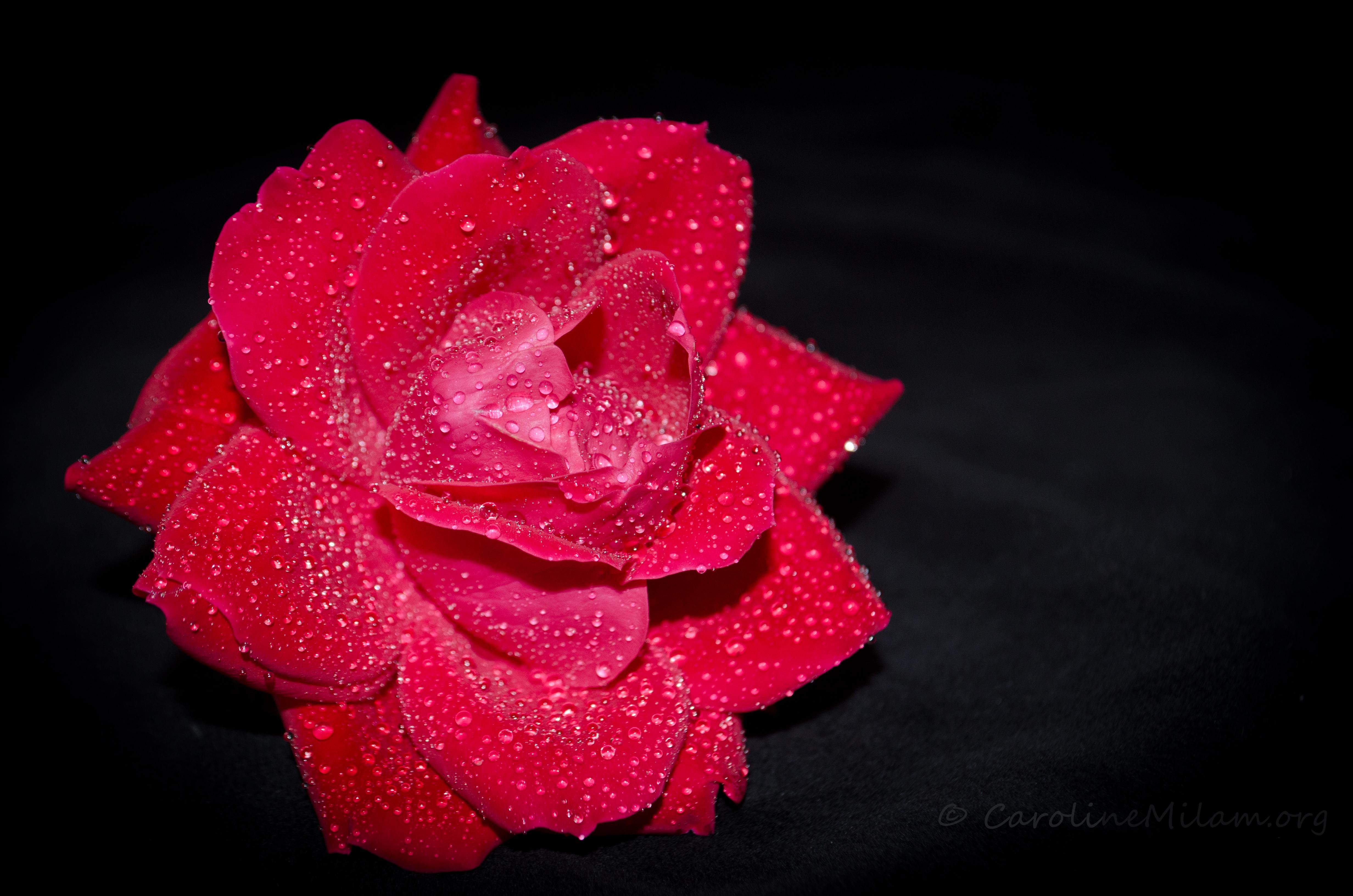 Sparkling-Rose-IV