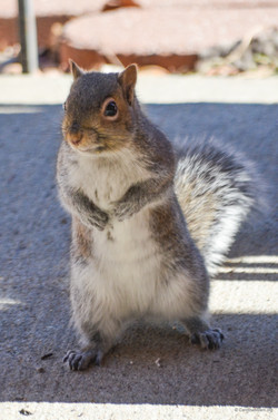 Squirrel KC MO 3