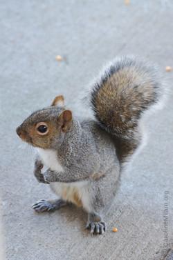 Squirrel KC MO 4