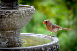Cardinal-Female-at-Bird-Bath