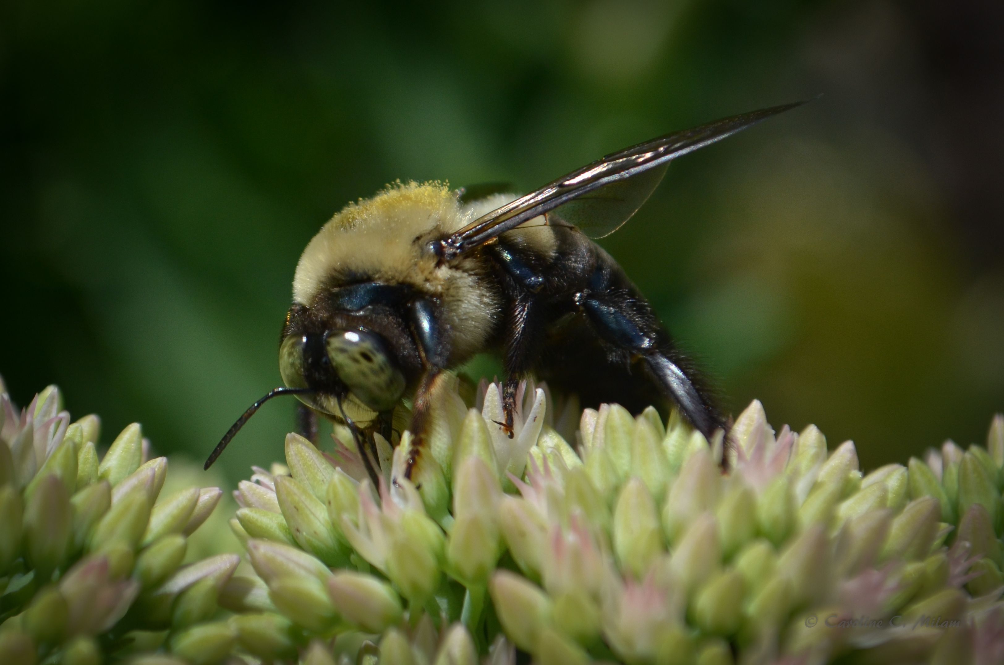 Green Eyed Bumblebee