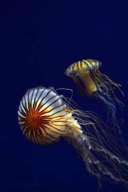Jellyfish-Encounter
