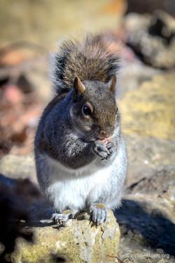 Squirrel KC MO 5
