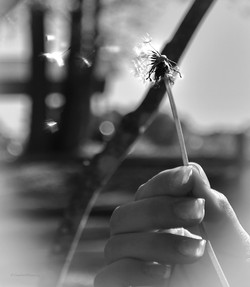 Dandelion Seeds in Wind
