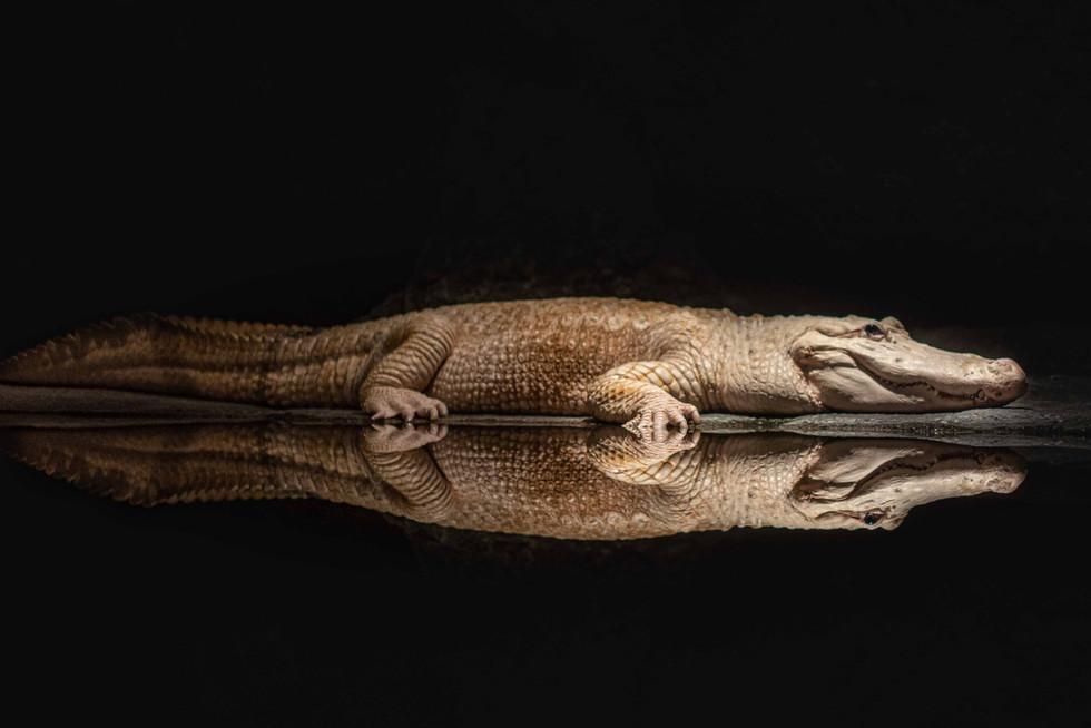 Alligator_White_Web-1.jpg