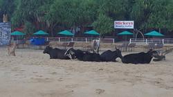 meditating cows