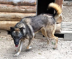 alaskan husky wolfood start energy element.vet wolfood breeding howling dog alaska wolfood