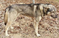 Wolfood start energy Wolfood breeding Element.vet Howling dog alaska Wolfood Nourrir comme la nature