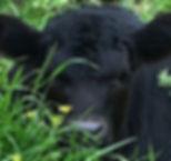 Angus Calf Bulls & Heifers For Sale