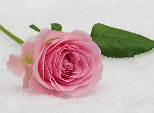 rose-3142660_1280.webp