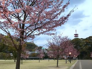 おはようございます。桜ゲートを通過してきました。