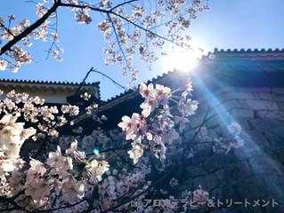 もう少しで桜満開の松山城