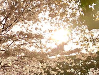 松山市お城下公園の桜