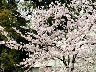 お城下公園の桜:平成さいごの3月