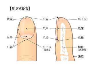 皮膚の付属器官、、「爪」、、お客様を守るために必要な知識