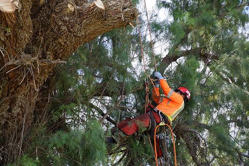 tree pruning artemio  (1).JPG