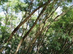 Prefeitura de Piracicaba fará manejo florestal em área do Jardim Botânico