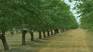 Almonds Fancher Creek.jpg