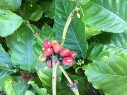 Arabica Coffee Beans Ripening