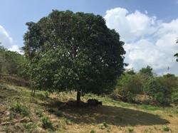 Native Mango with Water Buffalo